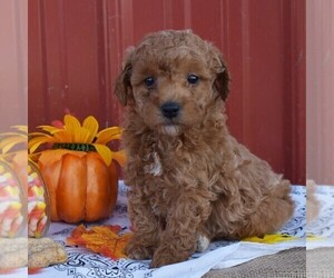 Poodle (Miniature) Puppy for sale in WOODWARD, PA, USA