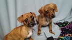 Chiweenie Puppy For Sale in VANCOUVER, WA