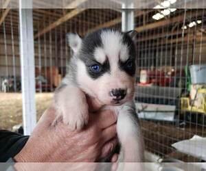 Siberian Husky Dog for Adoption in SALEM, Illinois USA