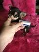 Micro Teacup Showy Chocolate Chihuahua