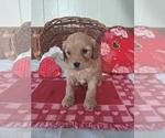Puppy 3 Cavapoo