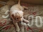 Golden Retriever Puppy For Sale in CAMBRIDGE, MN, USA