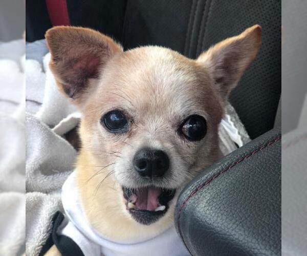 Medium Photo #20 Chihuahua Puppy For Sale in Plantation, FL, USA