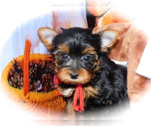 Yorkshire Terrier Puppy for Sale in HAMMOND, Indiana USA