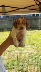 Brittany Puppy For Sale in CENTRALIA, WA
