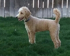 Father of the Bordoodle puppies born on 03/12/2019