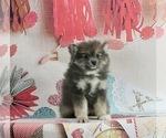 Puppy 4 Pomeranian-Pomsky Mix