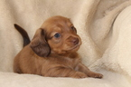 Dachshund Puppy For Sale in SHINGLE SPRINGS, CA