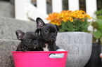 French Bulldog Puppy For Sale in SEATTLE, WA,