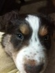 Australian Shepherd Puppy For Sale in BOONVILLE, NC, USA