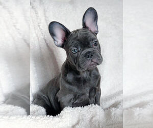 French Bulldog Puppy for sale in BRIDGEWATER, NJ, USA