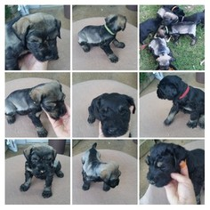 Schnauzer (Giant) Puppy For Sale in TUPELO, MS