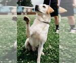 Small #339 Labrador Retriever Mix