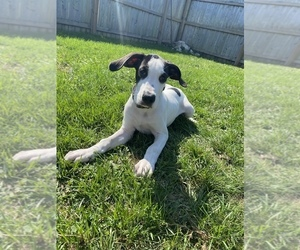 Great Dane Puppy for sale in BEECH GROVE, IN, USA