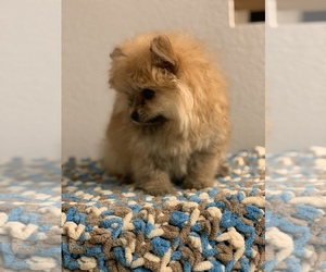 Pomeranian Puppy for sale in PALMDALE, CA, USA