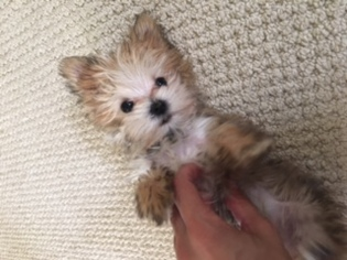 Morkie Puppy For Sale in AGOURA HILLS, CA, USA