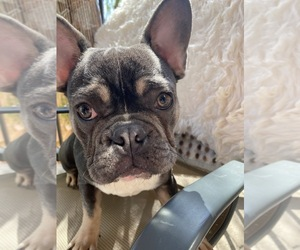 French Bulldog Puppy for sale in BALDWIN HILLS, CA, USA