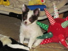Chihuahua Puppy For Sale in HAMBURG, AR, USA