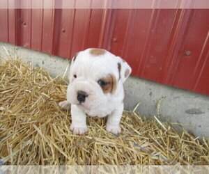 Beabull Puppy for sale in BLMGTN, IN, USA