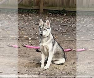 Siberian Husky Puppy for sale in POQUOSON, VA, USA