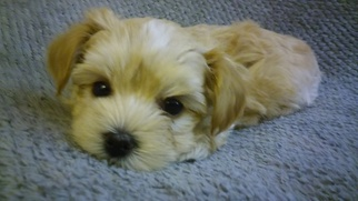 View Ad Morkie Litter Of Puppies For Sale Near Oregon Portland