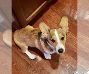 Pembroke Welsh Corgi Puppy for sale in COPLEY, OH, USA