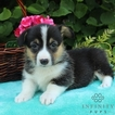 Pembroke Welsh Corgi Puppy For Sale in GAP, PA,