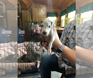 Great Dane Puppy For Sale near 46065, Rossville, IN, USA