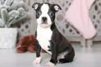 Huey Male Boston Terrier
