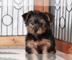 Yorkshire Terrier Dog for Adoption in NAPLES, Florida USA