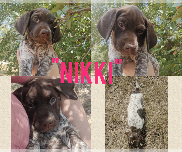 Medium Photo #1 German Shorthaired Pointer Puppy For Sale in BLANCO, TX, USA