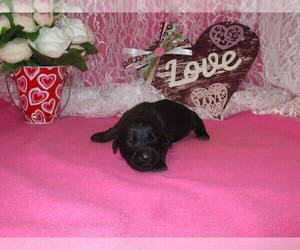 Newfoundland Puppy for sale in CHANUTE, KS, USA