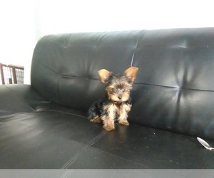 Yorkshire Terrier Puppy for sale in CEDAREDGE, CO, USA