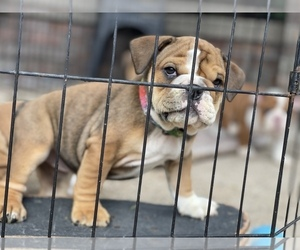 English Bulldog Puppy for sale in RANCHO CALIFORNIA, CA, USA