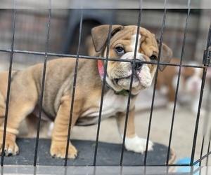 English Bulldog Puppy for Sale in RANCHO CALIFORNIA, California USA