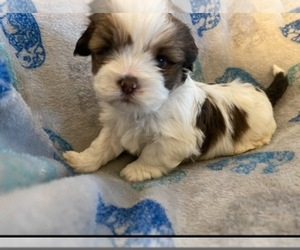 Shorkie Tzu Puppy for Sale in WEST HAVEN, Utah USA
