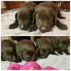 Labrador Retriever Puppy for sale in ITHACA, MI, USA