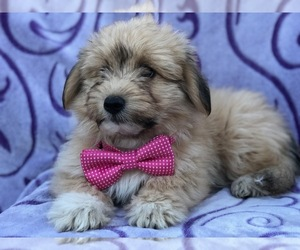 Pookimo Puppy for sale in OXFORD, PA, USA
