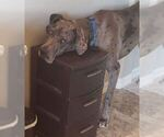 Small Photo #3 Great Dane Puppy For Sale in CO SPGS, CO, USA