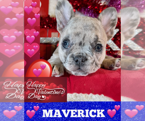 French Bulldog Dog for Adoption in HEATHROW, Florida USA