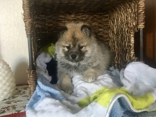 Puppies and Dogs for Sale in 46530, USA area