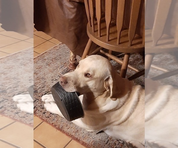 Medium Photo #1 Labrador Retriever Puppy For Sale in WEST JEFFERSON, OH, USA