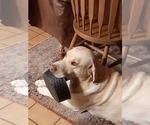 Small Photo #1 Labrador Retriever Puppy For Sale in WEST JEFFERSON, OH, USA