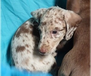Dachshund Puppy for Sale in BELEN, New Mexico USA