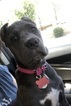 Cane Corso female blue brindle puppy AKC and ICCF