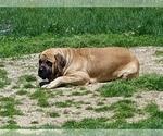 Small #3 Mastiff