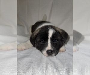 Akita Puppy for Sale in REEDS SPRING, Missouri USA