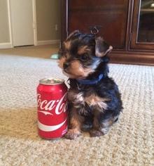 Yorkshire Terrier Puppy For Sale in MARIETTA, GA