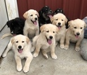Goberian Puppy For Sale in LAFAYETTE, IN, USA