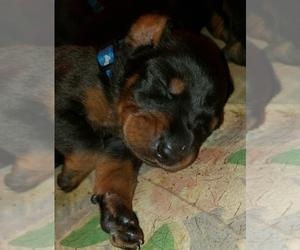Doberman Pinscher Puppy for sale in SKOWHEGAN, ME, USA